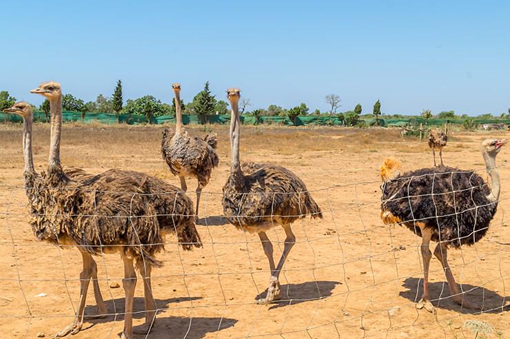 Mallorca Straußenfarm Artestruz Infos zur Adresse, Öffnungszeiten, Eintrittspreise - Urlaub Ausflug Tipp für Kinder und Familien