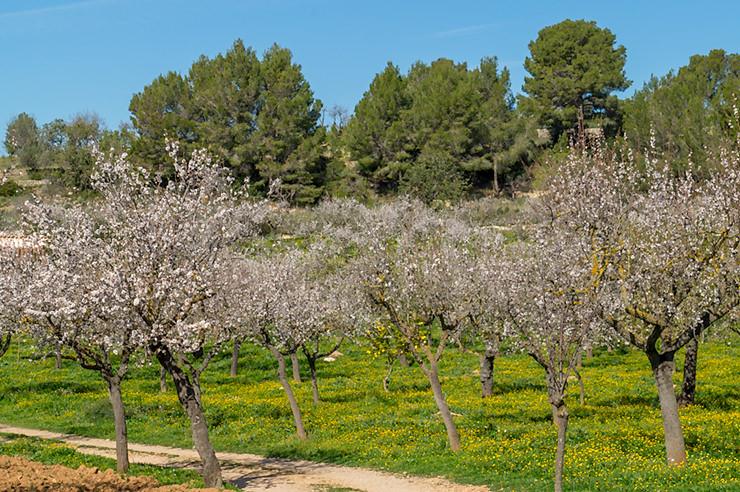 Mandelblüte auf Mallorca 2020 im Januar, Februar und März bringt den Frühling in den Winter Urlaub. Infos zum Zeitraum und wo es am schönsten blüht.