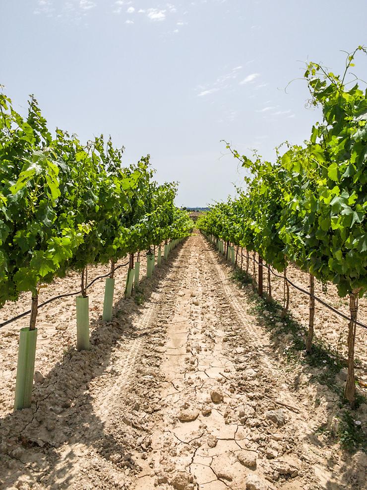 Mallorca Weinfeld Sineu - Weinreben Patenschaften - Selbst Winzer werden oder als Geschenk